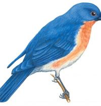 Bluebird drawing tattoo design