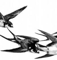 Four swallow tattoo design