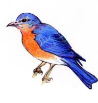 Tattoo design of bluebird
