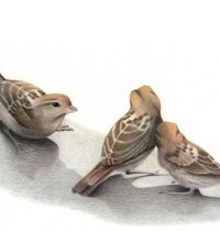 Three brown sparrow tattoo design