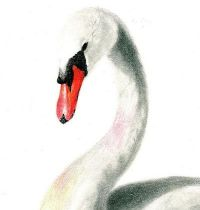 White swan with long neck