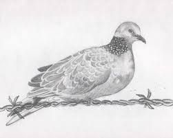 Pigeon on the barbed wire