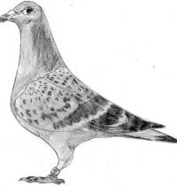 Grey dove tattoo design