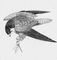 Magpie on the branch tattoo design