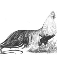 Rooster with amazing tail design